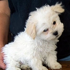 Renaissance Bolognesebreeder With Bolognese Puppies For Sale In